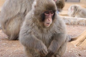 Baby Japanese macaque