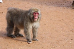 Angry macaque