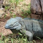 And the Blue Iguanas...